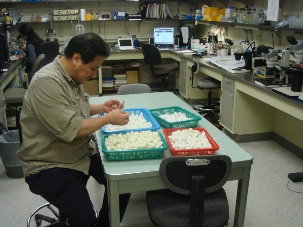 Researcher Young-soo Kim examines a platter full of spider silk