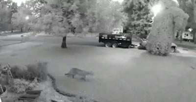 Mountain lion on camera