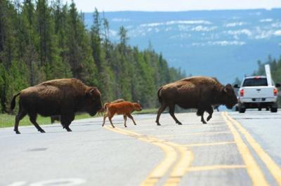 Bison hazing