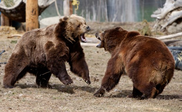 Zoo bears demonstrate sheer strength in destroying mock campground