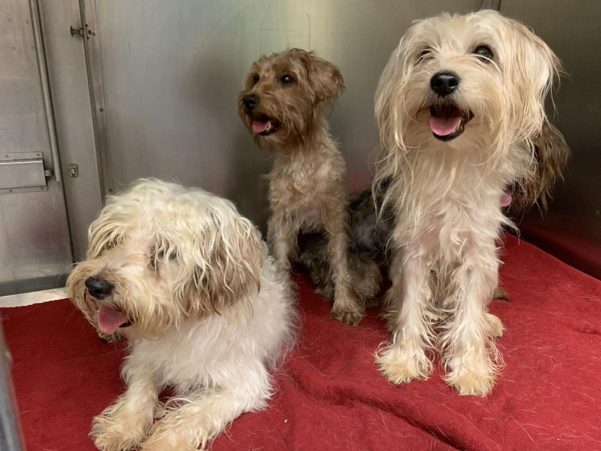 Yorkie-poodle mixes for adoption