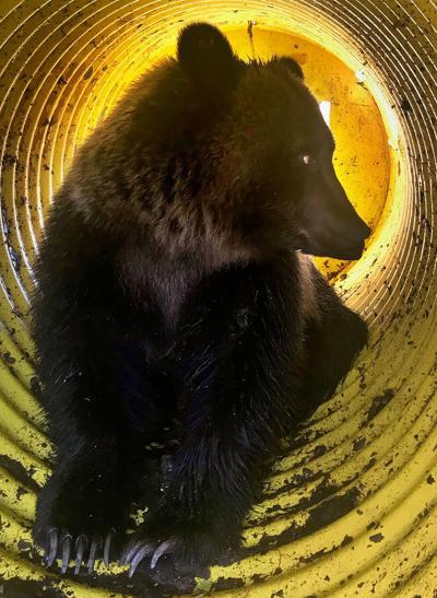 Stevensville grizzly bear
