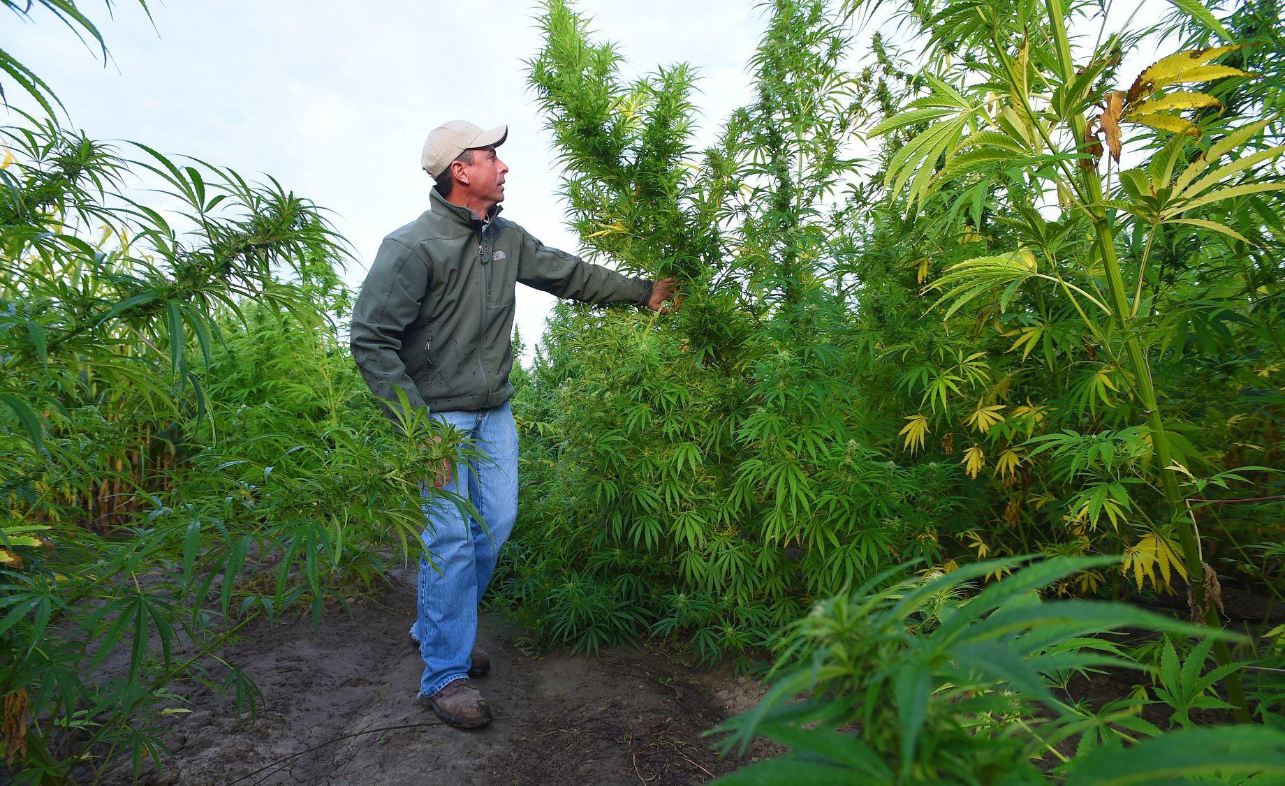 Hemp Takes Root With Montana Farmers State Regional Billingsgazette Com