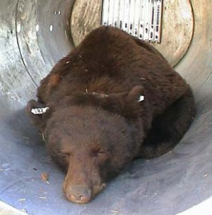 Letterman S Bear Caught At Ranch Montana News