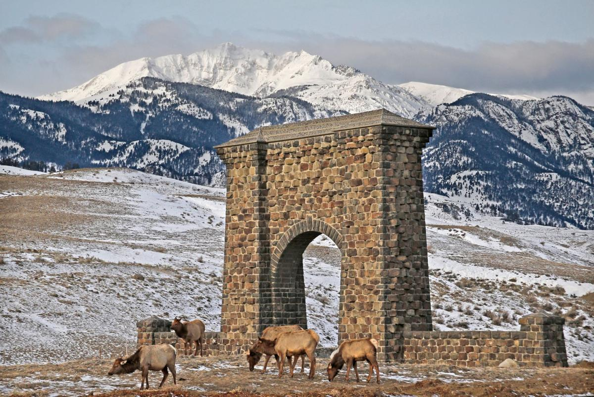 Elk graze by the Roosevelt Arch