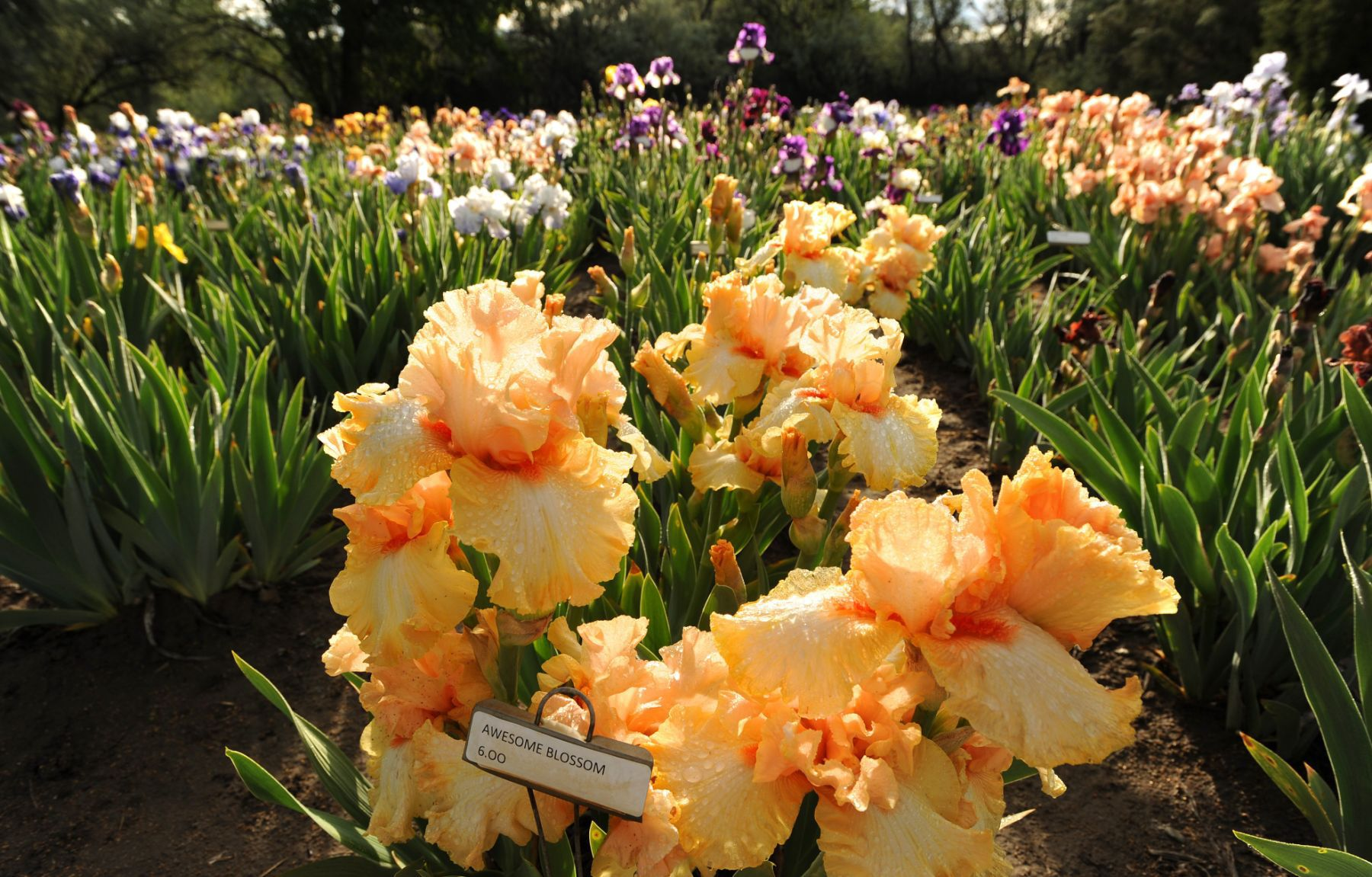 Tina Mulleru0027s Iris Garden