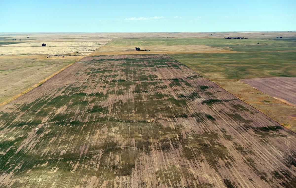 Drought wheat aerial