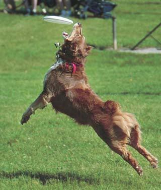 Australian shepherd is city Frisbee champ