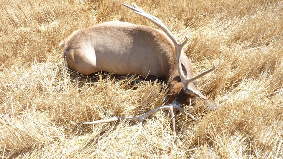 A bull elk was shot, killed and left in the southwestern part of Musselshell County
