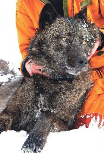 Wolf 527F