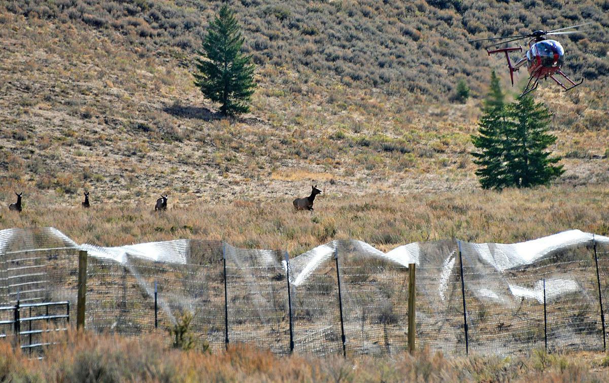 Herding elk