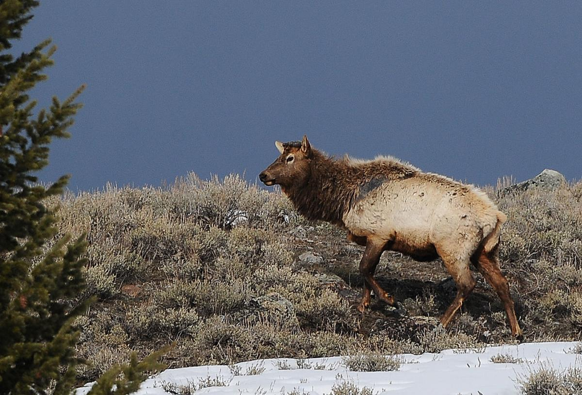 Even elk