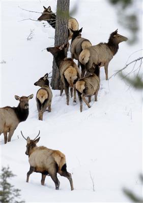 Elk counts