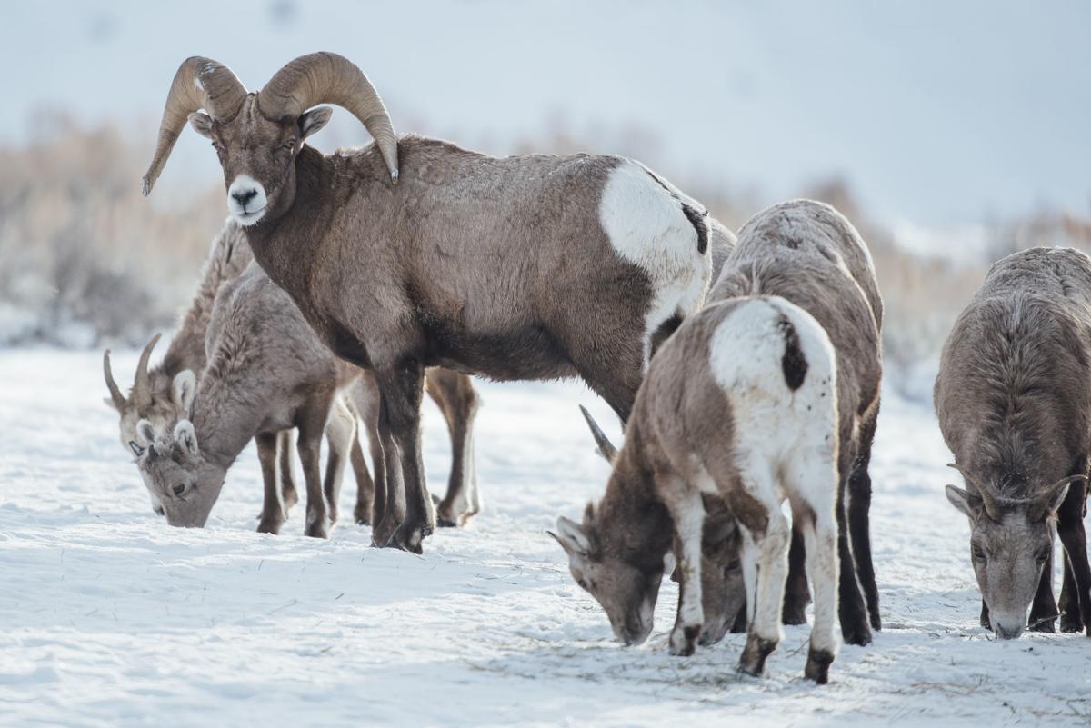 Bighorn migrations