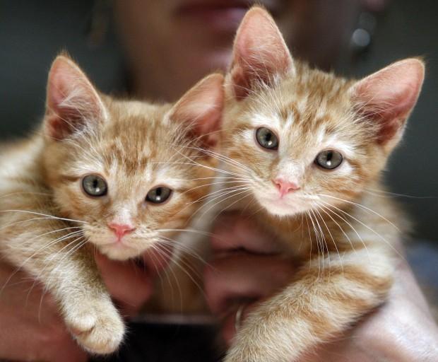 Orange tabby kitten for sale toronto