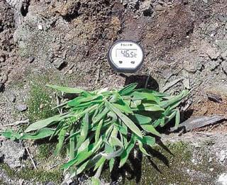Fungus helps park grass survive high temperatures