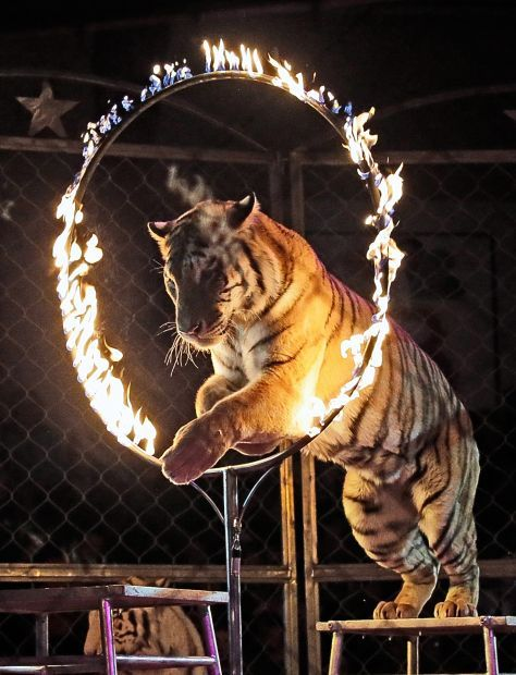 the debate about the plight of circus animals What you can do: take the pledge not to support exotic animal circusesshow your support for animal-free circuses instead please tell your family and friends about the cruelty behind the big top, and explain to your children why you won't take them to a circus with exotic animals.