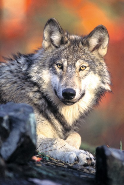 Gray Wolf Endangered