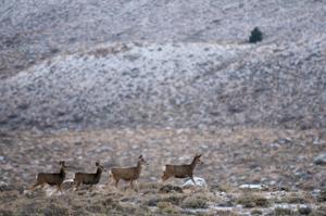 Sportsmen push back on oil and gas leasing in western Wyoming mule deer migration corridor