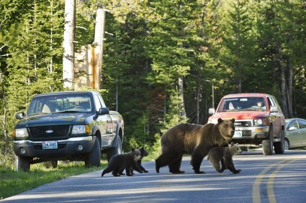Grizzly bear No. 399 crosses a road in Grand Teton National Park