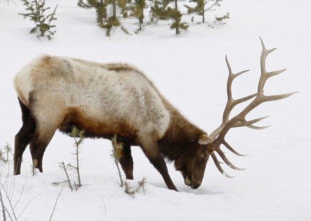 Bull elk controversy