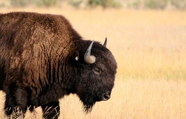 Prairie bull