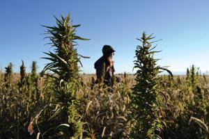 Is hemp Wyoming's next emerging industry? Some legislators think so.