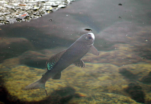 Federal agency defends decision not to protect Montana fish