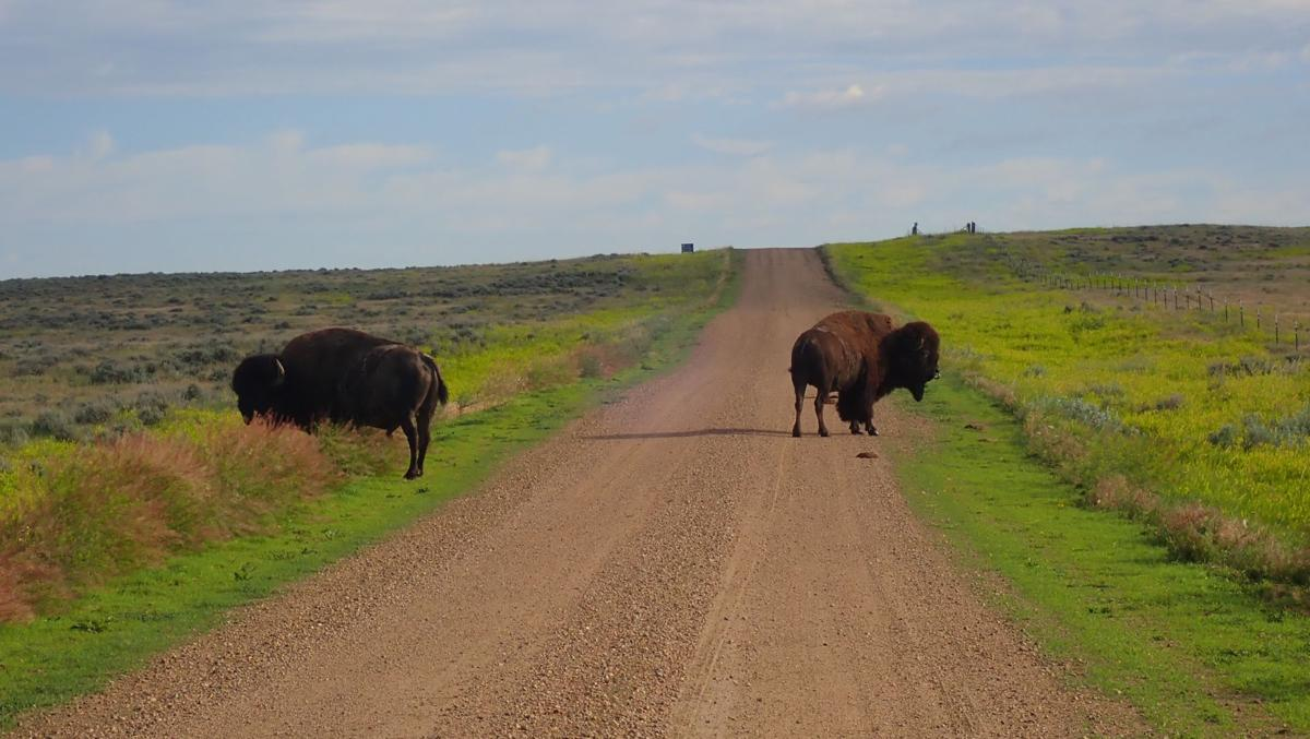 Bison bulls graze on BLM land leased by the American Prairie Reserve near Fort Peck Lake.