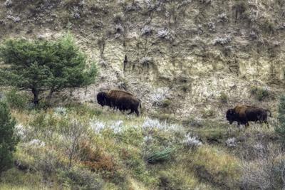 Standing Rock bison