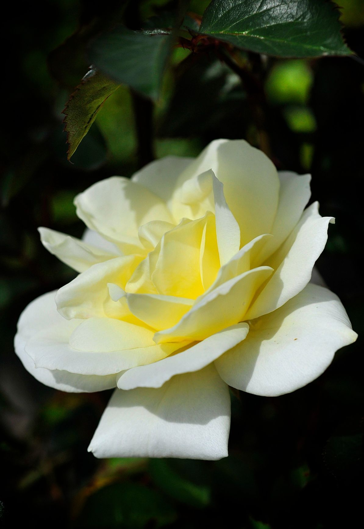 Beginners Blooms Experts Offer Advice On Growing Roses In A Home