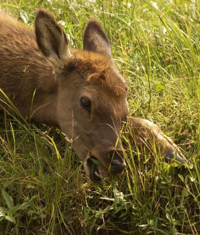 Elk calf in Yellowstone
