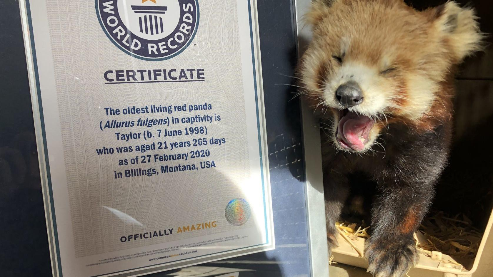 Zoomontana S Red Panda Breaks Record For Oldest Before Being Found Dead Wednesday Local News Billingsgazette Com