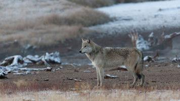 Wolf hunting season extension rejected in northwest Montana