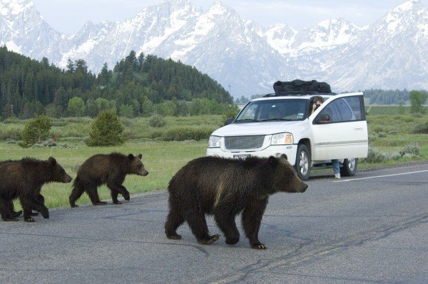 Grizzly Trapping Processing Set For Bridger Teton