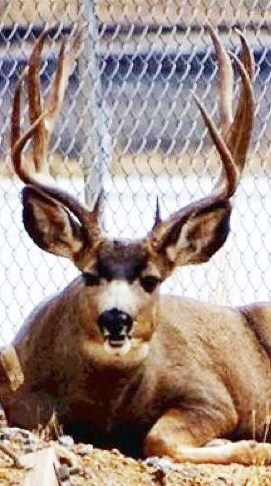 Pit buck photo
