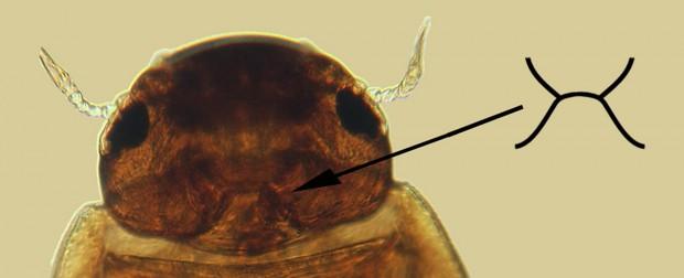 Redford beetle
