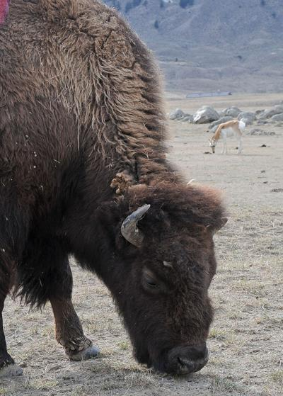 Bison management