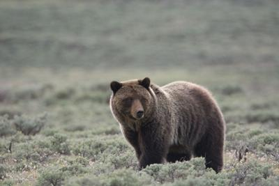 Quick thinking, good fortune saves man mauled by grizzlies in Beartooth Mountains