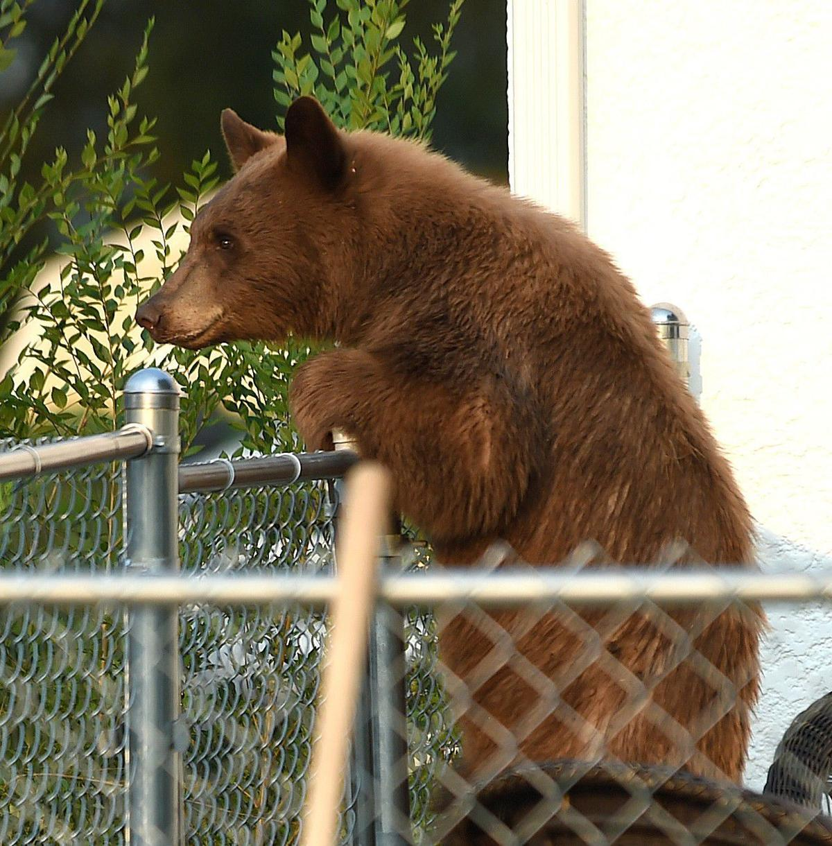 Bear in heights