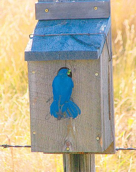 Montana Outdoors Spreading The Joy Of Bluebirds Outdoors Features