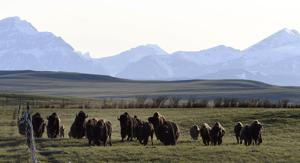 Bison plans need their own roundup