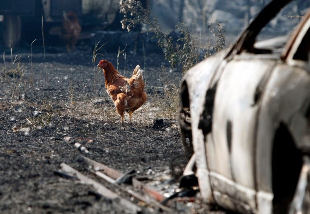 A chicken forages near a home