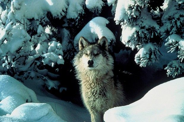 Wolf stands in snow
