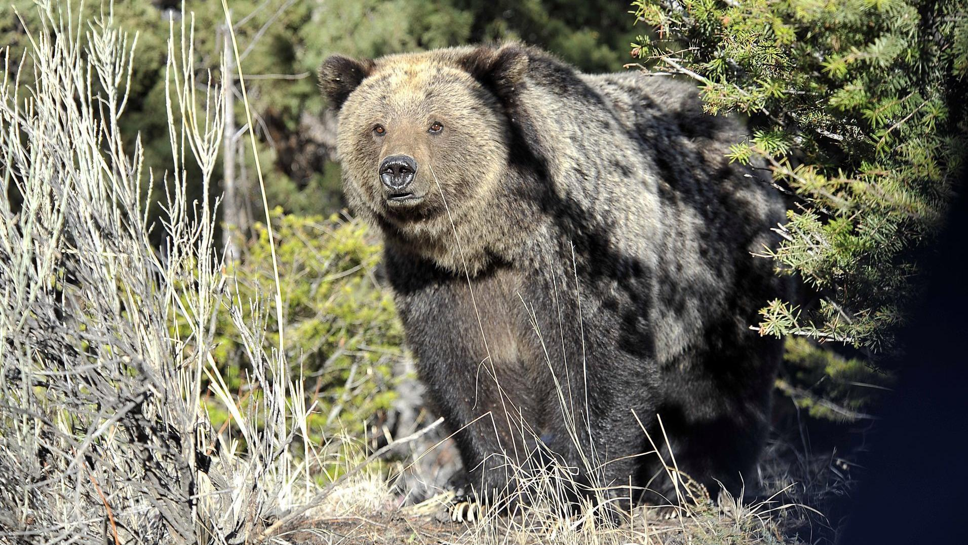 Hunter recovering after grizzly attacks in Montana mountains