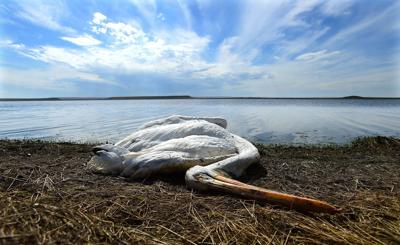 Thousands of bird carcasses will stay at Big Lake as officials watch for signs of disease