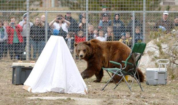 Ozzy the grizzly bear checks out a staged campsite