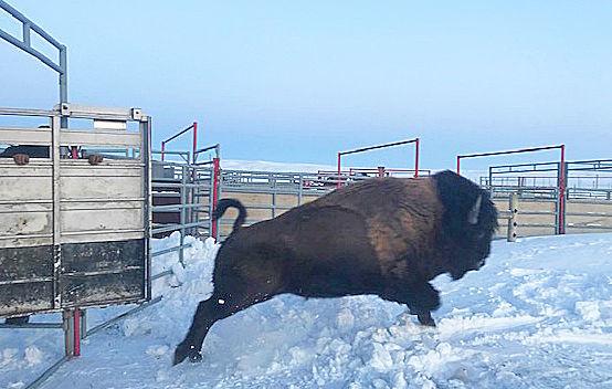 Fort Peck bison
