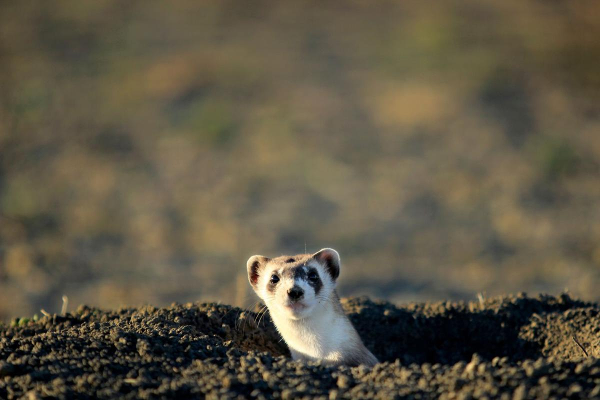Black-footed ferret peaks out of new home
