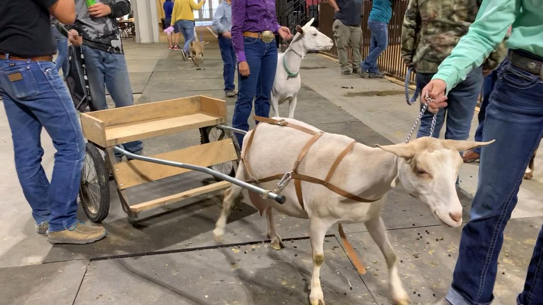 Watch Now: Goat pulls cart at MontanaFair goat show
